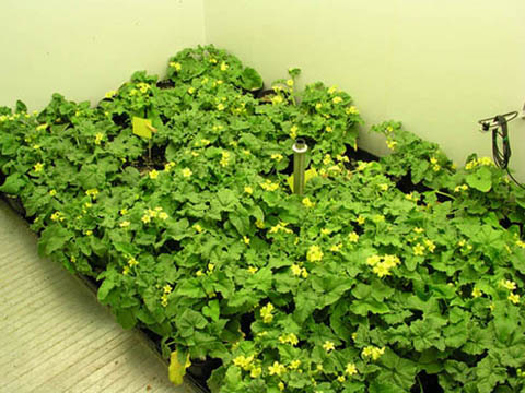 Image of plants from inside the PGV36 Growth Chamber