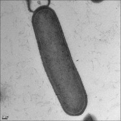 Bacillus subtilis, longitudinal section