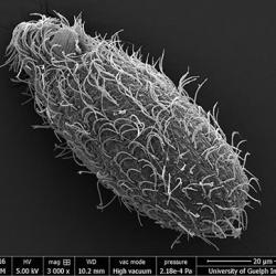 Tetrahymena mobilis SEM