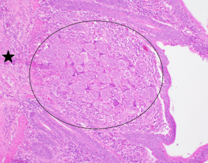 Large schizonts of E. necatrix (circle) in deep lamina propria of jejunum. Tunica muscularis (star)
