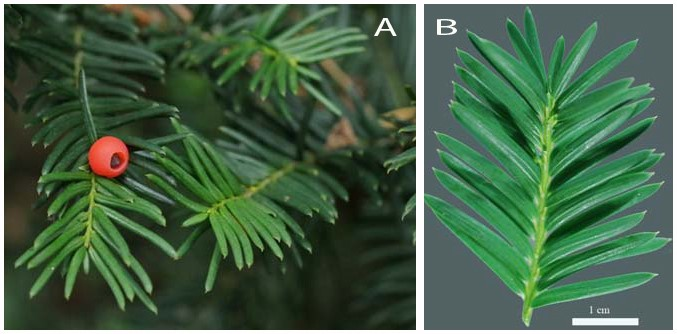 Figure 1.  Taxus spp. (yew) showing typical evergreen leaves and red fleshy fruit (A).  Note the fine point at the tip of the needle-like leaves (B).