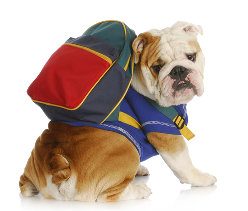 Bulldog with backpack