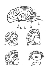 Illustration of important parts of brain to be included in histology