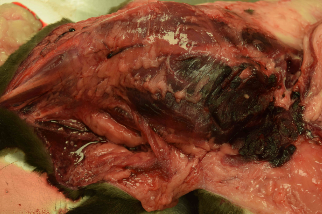 Proximal right thigh of a cat with clostridial myositis. Muscle is regionally purple-black, and edema fluid is pooling in fascia.