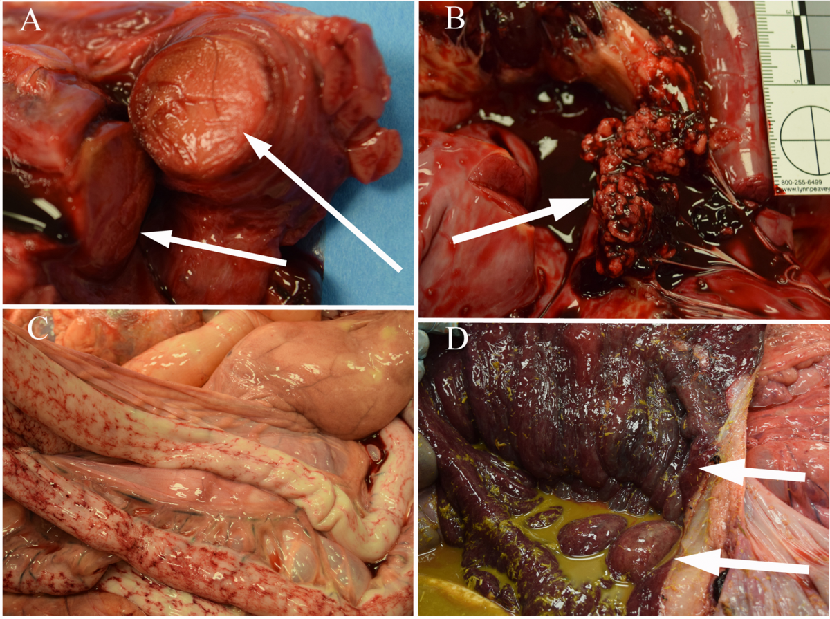 Figure 1. Actinobacillus equuli ssp. equuli valvular endocarditis in a horse. A. Organized thrombus in the right jugular vein (arrows). B. Vegetative mass on the right AV valve of the heart (arrow). C. Unusual hemorrhagic striae on the small intestinal serosa. D. Colonic ulceration and edema (arrows).