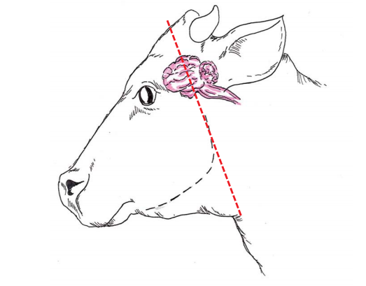 Diagram of cow profile indicating where to cut