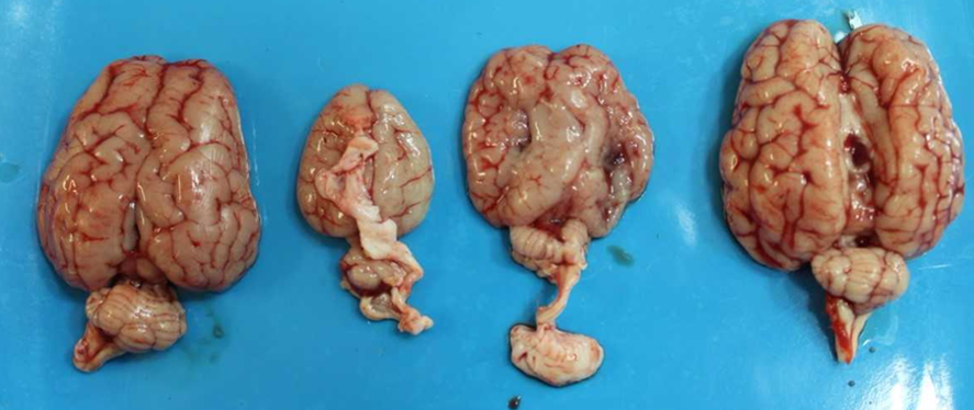 Brains from quadruplet lambs.