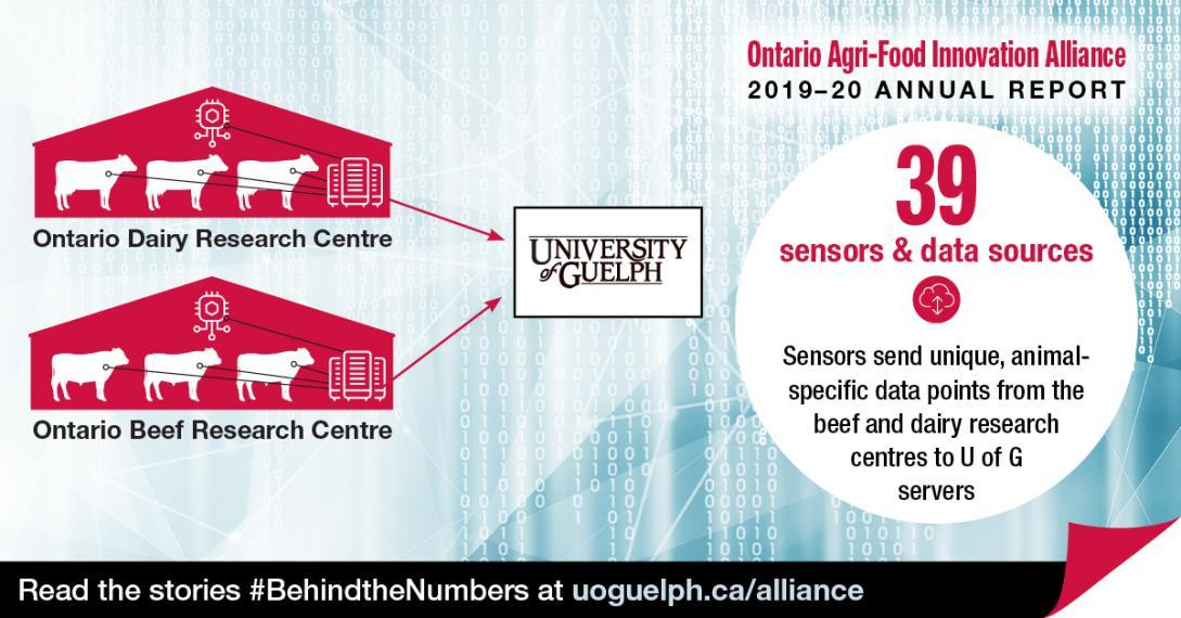 "This conceptual illustration shows the Ontario Dairy Research Centre and Ontario Beef Research Centres sending data to the University of Guelph. The accompanying text reads Ontario Agri-Food Innovation Alliance 2019-20 Annual Report. ""39 sensors and data sources: Sensors send unique, animal-specific data points from the beef and dairy research centres to U of G servers."" Read the stories #BehindtheNumbers at uoguelph.ca/alliance."