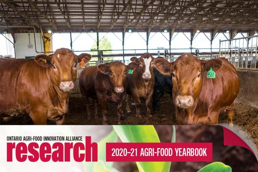 Four brown beef cows standing in a barn looking at the camera with an icon banner at the bottom that says Ontario Agri-Food Innovation Alliance Research 2020-21 Agri-Food Yearbook