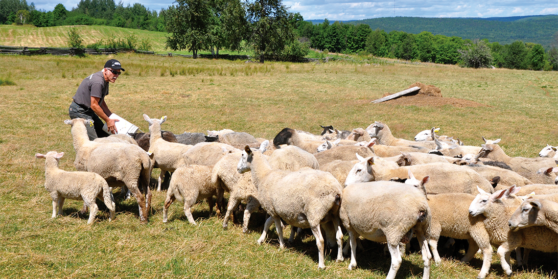 Man in field gathering flock of sheep