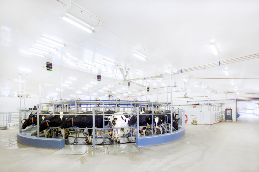 Dairy cows in a rotary parlour milker