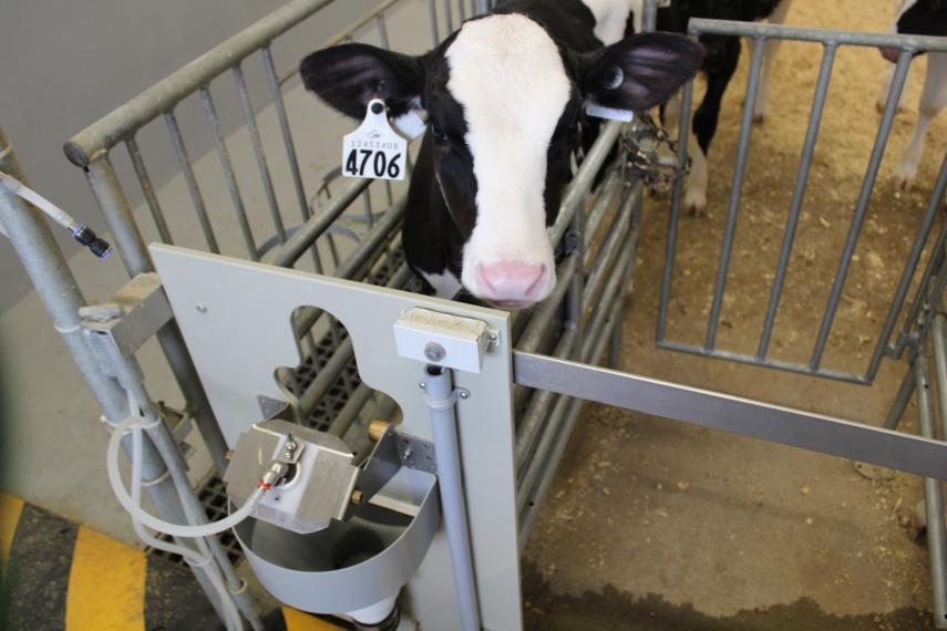 Dairy calf in front of an automated feeder