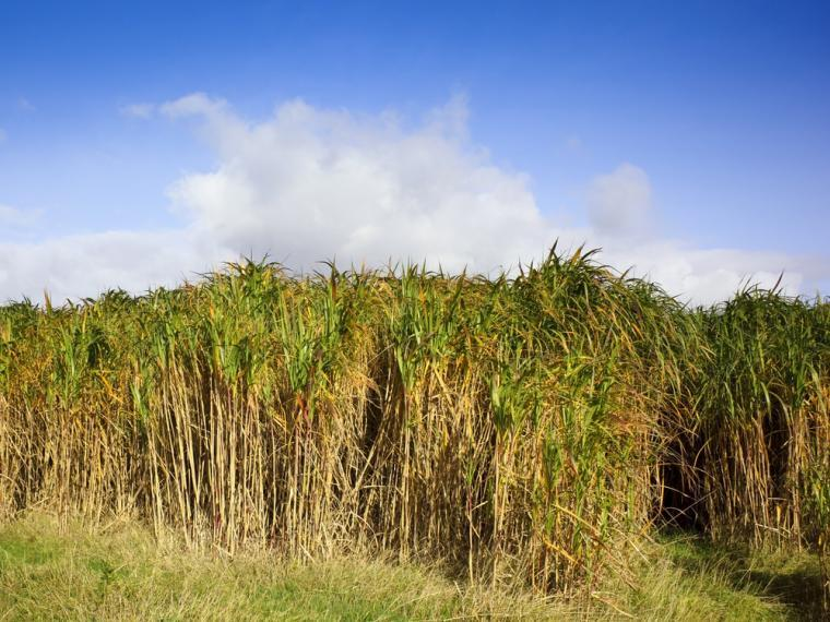 Tall biofuel grasses growing in a field