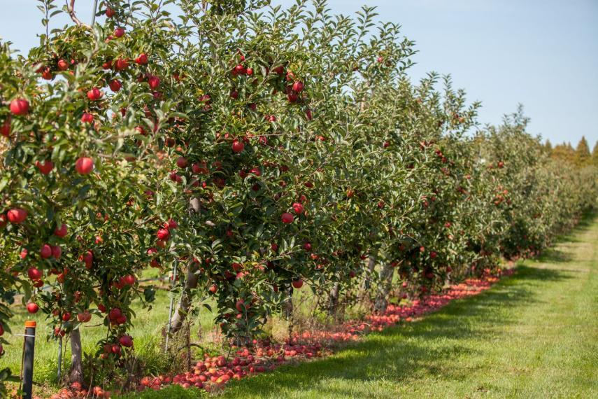 Apple orchard at the Simcoe research station