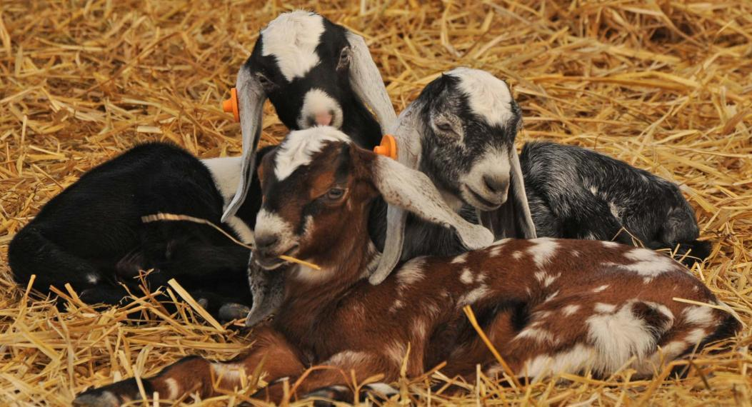 Three goats laying together on a bed of hay