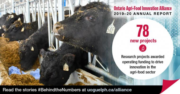 "This image shows black beef cattle eating. The accompanying text reads Ontario Agri-Food Innovation Alliance 2019-20 Annual Report. ""78 new projects: Research projects awarded operating funding to drive innovation in the agri-food sector."""