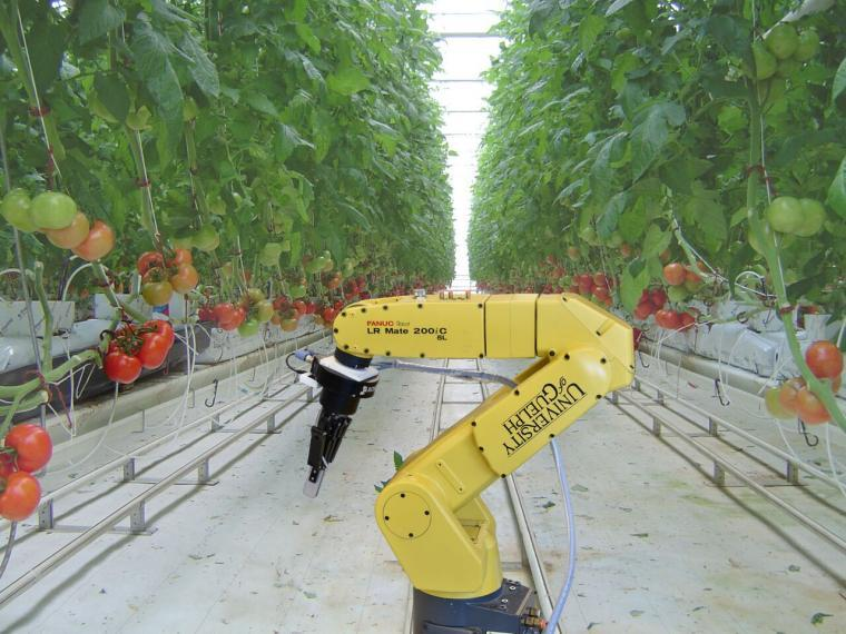Yellow robotic arm in a tomato greenhouse