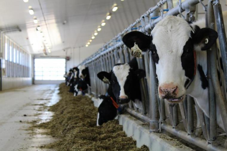 Dairy cows eating feed through stall bars with one cow looking at camera