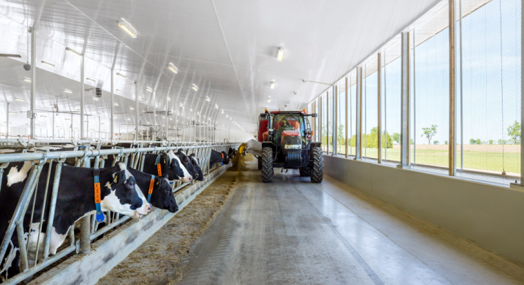 Dairy cows in stalls with tractor driving down station alley.