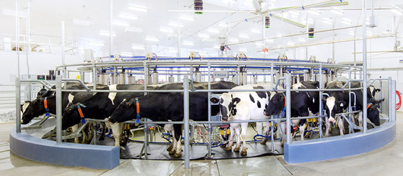 Image of milking cows in a carousel at the Elora Dairy Research Station