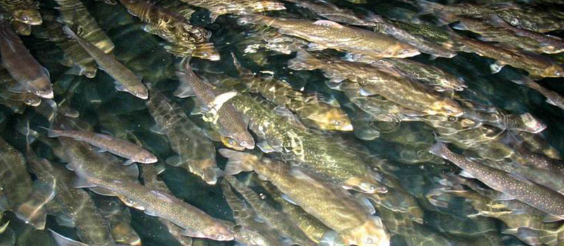 Image of rainbow trout at the Alma Research Station