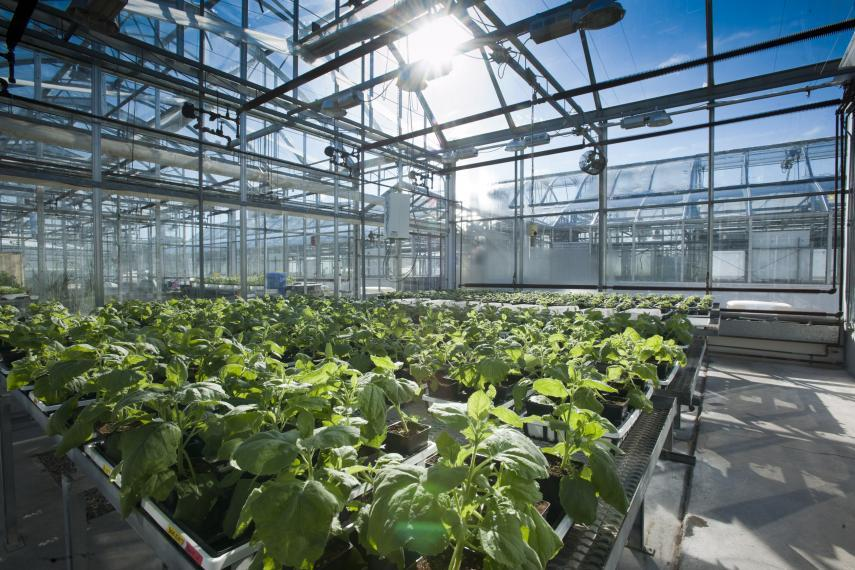 Tobacco plants in a greenhouse