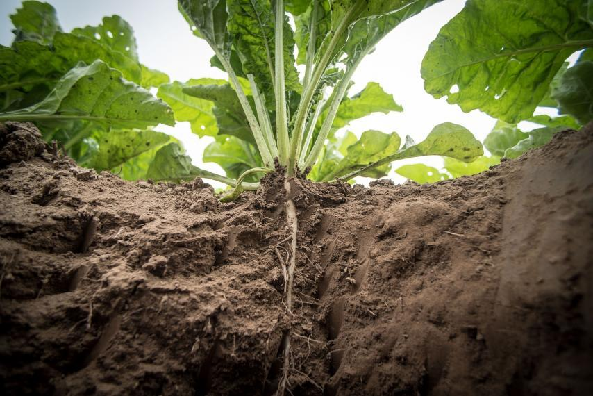 Sugar beet with roots in the dirt and leaves growing out of the top