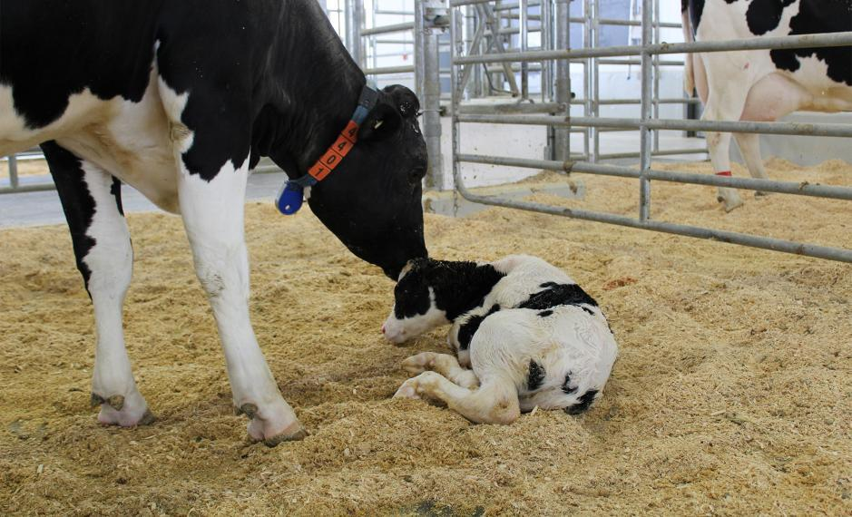 Dairy cow licking her calf's head