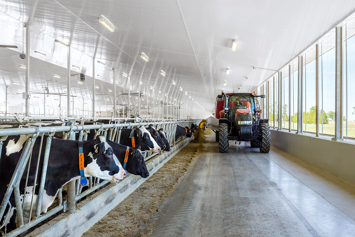 Tractor leaving feed for cows down barn aisle