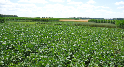 Crops at the Elora research centre