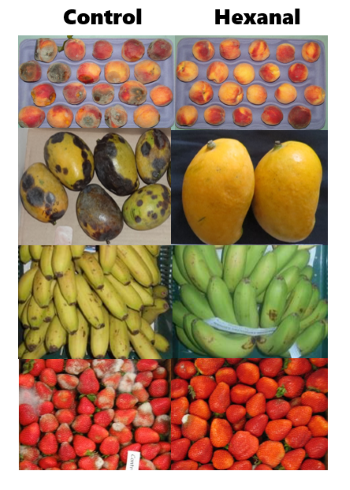 Peaches, mangoes, bananas and strawberries under control conditions (no hexanal applied) have black spots and mould and those with hexanal applied (right) do not.