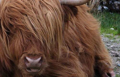 ginger cow