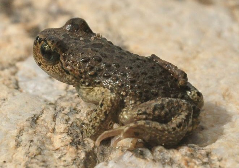 Scuteri boulengeri, a frog that lives at high elevation (Photo by Subba et al., CC BY 4.0)