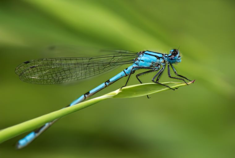 Adult Damselfly
