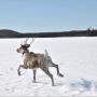 A collared woodland caribou in Northern Ontario (photo by Tal Avgar)
