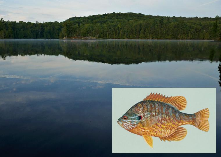 A view of Ashby Lake, Ontario.  Inset: illustration of a pumpkinseed fish (image by Duane Raver, USFWS)