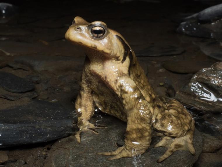 A male Asiatic toad, Bufo gargarizans (photo by Z. Yao)