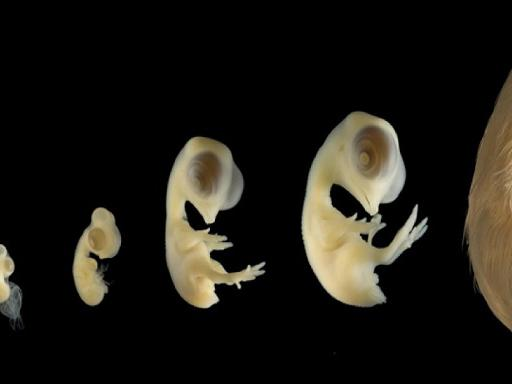 Showing various stages of development of a chicken embryo