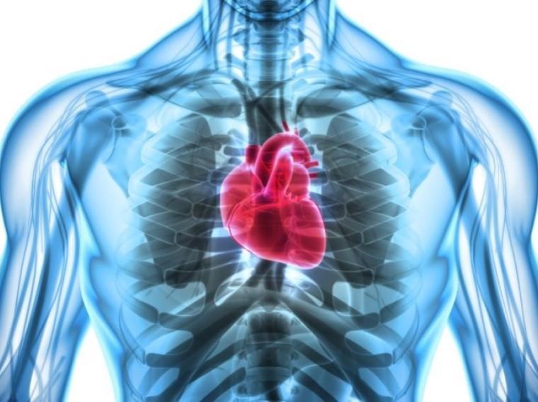 A heart inside a human body