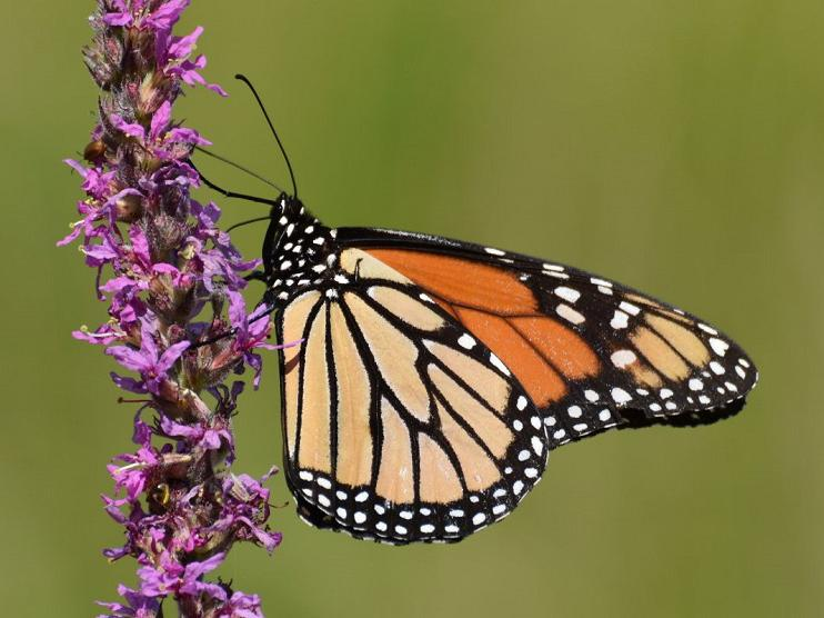 A monarch butterfly spotted in Île aux Chats, Quebec (image courtesy of eButterfly)