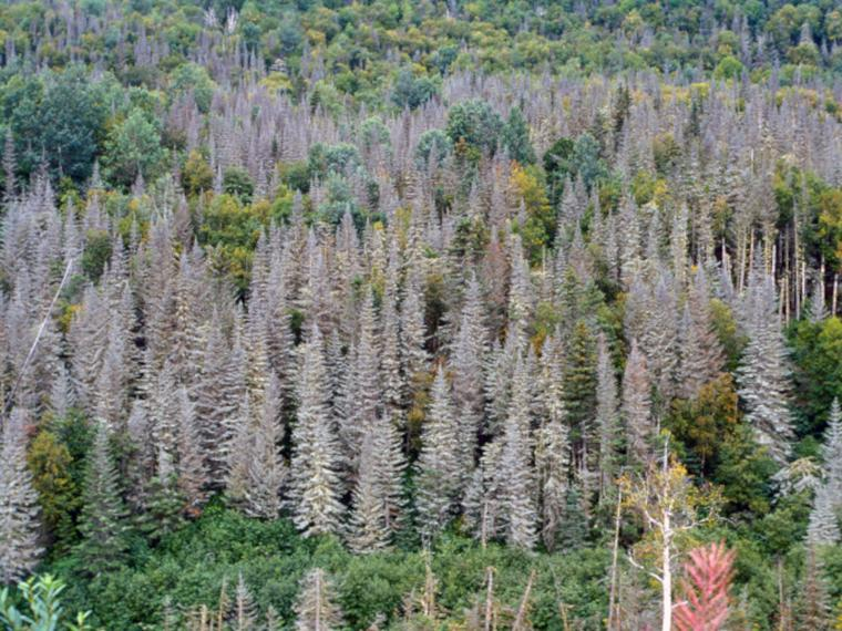 Trees killed by the spruce budworm during a cyclical outbreak  (photo by the USDA Forest Service)