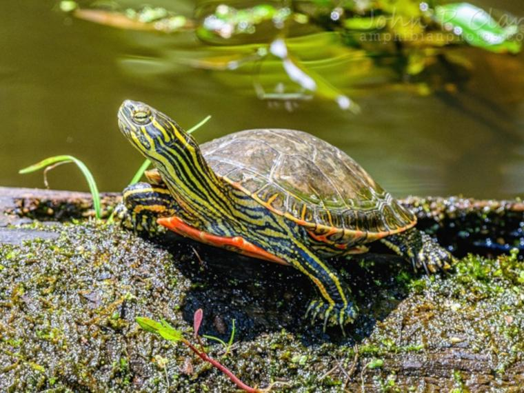 A western painted turtle (image by John P. Clare, CC BY-NC-ND 2.0)