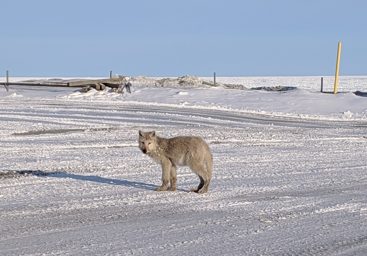 A wolf on a sunny day in Alert, Nunavut