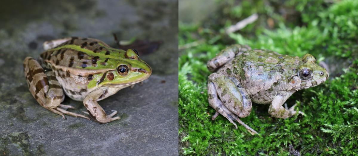 Closely related frogs Pelophylax nigromaculatus (left) and Fejervarya limnocharis (right) respond in different ways to environmental changes (Photo by Y. Wu)