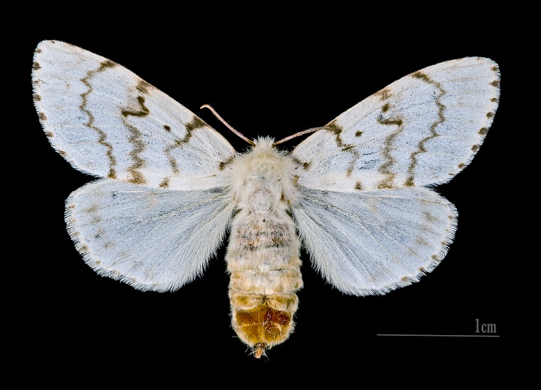 The gypsy moth, Lymantria dispar, an invasive species native to Europe (photo by  Didier Descouens, CC BY-SA 4.0)