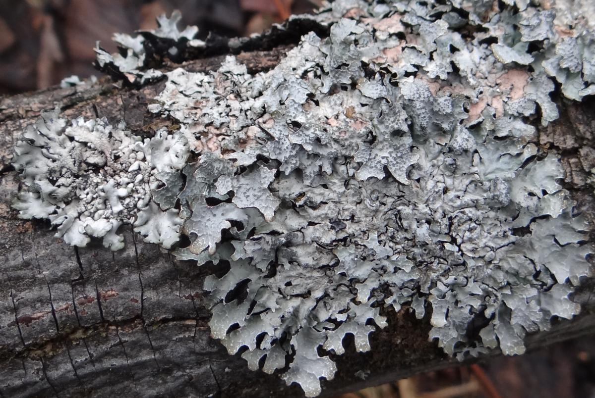 Parmelia sulcata, a type of lichen found in Guelph city parks (photo by J. Opiola)