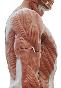 Human body showing muscles without skin