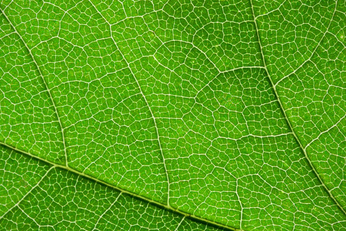 A close-up of a grean leaf