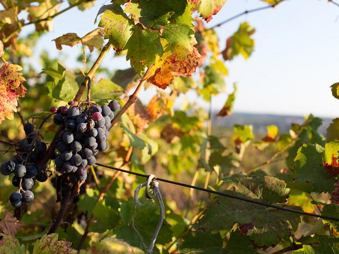 An Ontario Vineyard