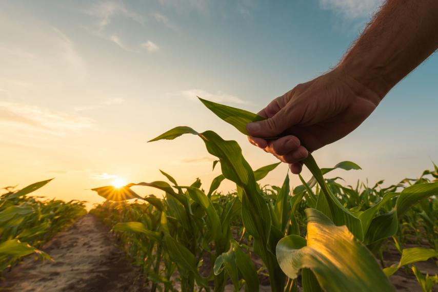 Image of person holding corn in field